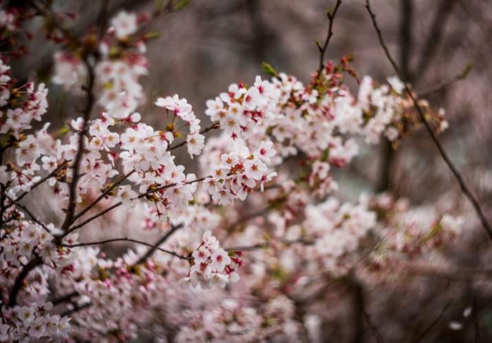 Fotografiando el Sakura de este año class=